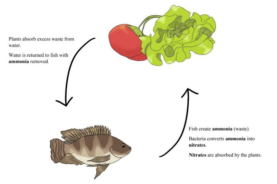 This graphic briefly explains the specific roles of fish and plants in an aquaponics system. No matter how the system is set up or designed, this symbiotic relationship must stay the same for the cycle to function.